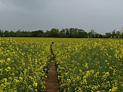 Welcome to England's yellow pleasant land