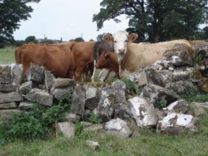 Mischievous cows at Swarkestone