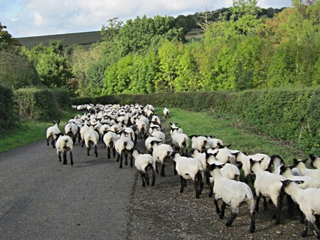 Sheep on the road to Blaston